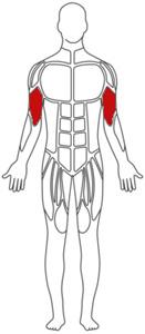 Muskelgruppe Bizeps